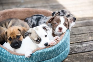 Factors to Consider When Buying a New Dog