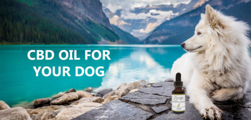 CBD oil for your dog
