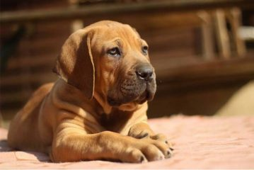 Check Out South African Puppies for Sale and Learn More on Boerboel Breed